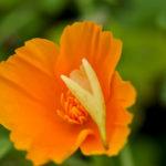Orangene BlüŸte eines kalifornischen Mohns