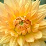Gelbe Blüte einer Garten-Dahlie