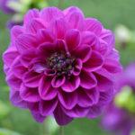Violette Blüte einer Garten-Dahlie