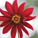 Rote Blüte einer Garten-Dahlie