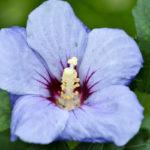 Blaue BlüŸte eines Hibiskus