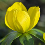 Gelbe BlŸüte eines Winterlings