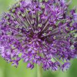 Lilafarbene BlŸüte eines Riesen-Lauchs