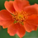 Orangerote BlüŸte einer Garten-Nelkenwurz