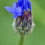 Knospe einer blauen Kornblume
