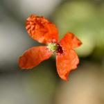 Rote BlüŸte eines Saat-Mohns
