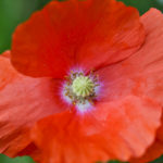 Rote BlüŸte eines Klatschmohns