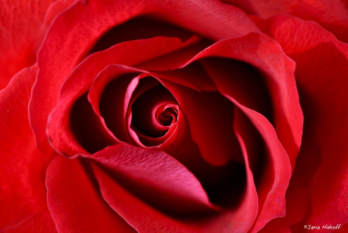 Rote BlüŸte einer Rose