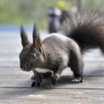 Dunkelbraunes Eichhšörnchen