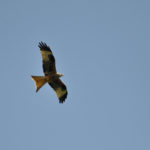 Rotmilan fliegt am Himmel