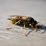 Echte Wespe