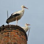 Weißstorch-Paar steht auf einem Schornstein