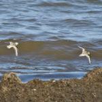 Zwei Sanderlinge fliegen am Strand üŸber's Meer