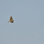 Feldlerche fliegt am Himmel