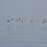 AlpenstrandlŠäufer fliegen üŸber's Meer