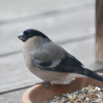 Weiblicher Gimpel frisst Vogelfutter