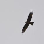 Schwarzmilan fliegt am Himmel