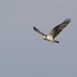 Fischadler fliegt am Himmel