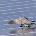 Zwei TüŸrkentauben stehen auf einem Solardach