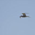 Flussseeschwalbe fliegt mit einem Fisch im Schnabel am Himmel