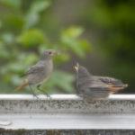 Junger Hausrotschwanz bettelt nach Nahrung