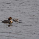 Haubentaucher schwimmt mit KŸüken im Wasser
