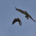 Junge Steppenweihe versucht dem Fischadler seine Beute abzujagen