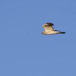 MŠännliche Kornweihe fliegt am Himmel