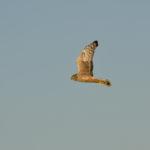 Weibliche Kornweihe fliegt am Himmel