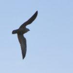 Junger Wanderfalke fliegt am Himmel