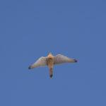 Weiblicher Turmfalke fliegt am Himmel
