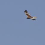 MŠännliche Rohrweihe fliegt am Himmel