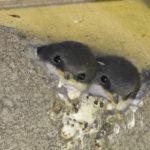 Zwei junge Mehlschwalben