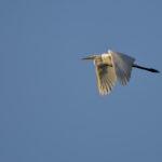 Silberreiher fliegt am Himmel
