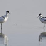 Zwei SäbelschnŠäbler stehen im Wasser