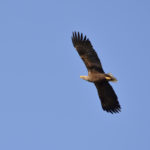 Seeadler fliegt am Himmel